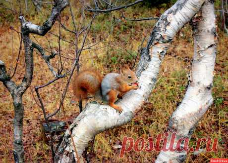 Фото: Украшение леса... или... Бельчонок с орешком.... Фотолюбитель Татьяна Соловьева (Тата). Природа - Фотосайт Расфокус.ру