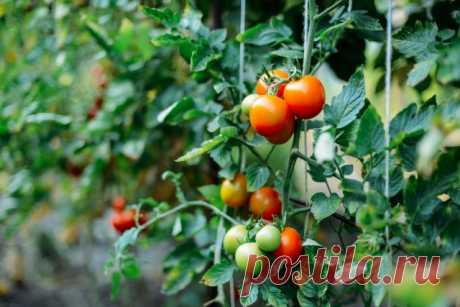 45 секретов небывалого урожая томатов | Томаты (Огород.ru)