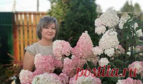 Чтобы добиться пышного цветения гортензии, нужно сделать всего 3 шага | Посад | Яндекс Дзен