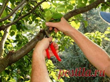 Для чего снижают высоту деревьев в саду? Секреты большого урожая!