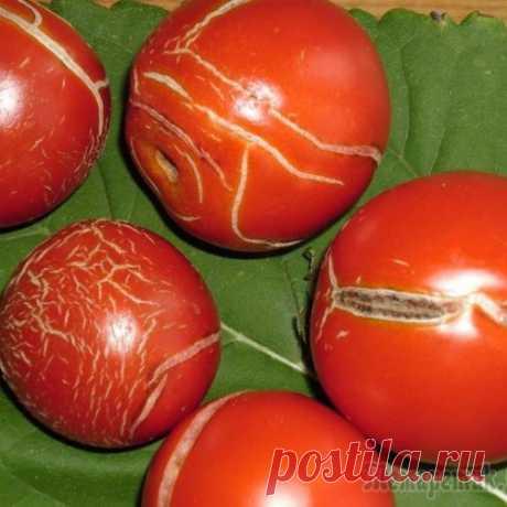 Почему лопаются помидоры и как этого избежать?