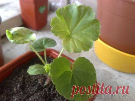 Ambulance for a geranium: what to do if leaves turned yellow