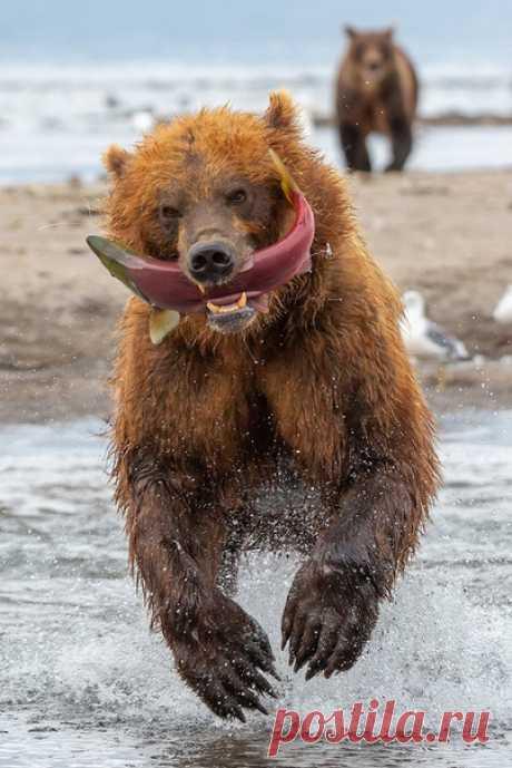 «Рыба до ушей» Поймал – беги! Первое правило медведей если рыбы мало, а кругом много сородичей. Южно-Камчатский заказник им. Т.И. Шпиленка, Курильское озеро. Автор кадра – Денис Будьков: