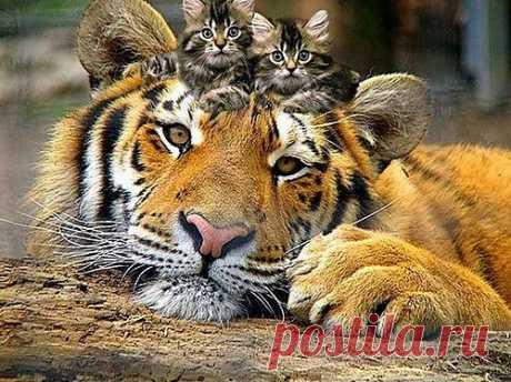 Секвенирование для исчезающих сохранения животных | ZooTovar.ru - Интернет-издание о животных, домашние питомцы Наступление человека на природу, приводит к исчезновению многих животных. Это заставляет ученых всего мира искать пути сохранения животного мира. Один из способов – секвенирование или описание ДНК-кода существующих ныне видов. Последнее подобное описание было проведено институтом PGI (Южная Корея), для семейства кошачьих