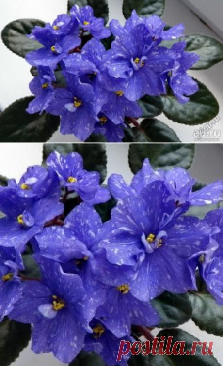 Почему не цветут фиалки — Полезные советы