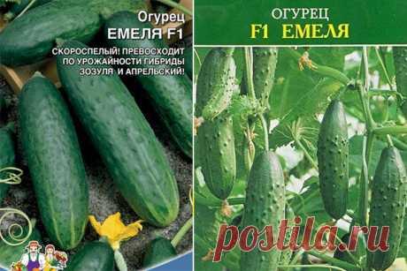 Огурец Емеля F1: описание, отзывы, фото, посадка и уход, характеристика сорта, достоинства и недостатки, урожайность