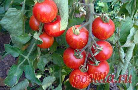 Ошибки, которые мешают вашим помидорам расти и развиваться! » Женский Мир