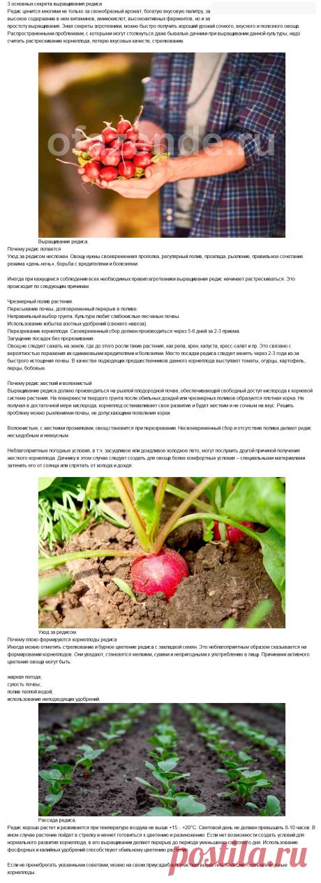 3 основных секрета выращивания редиса