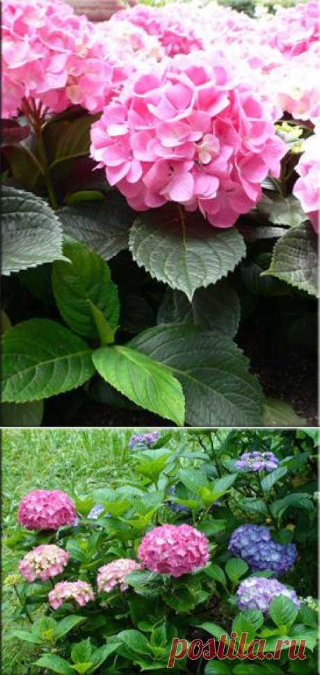 """Гортензия (Гидрангея), (Hydrangea). Описание, виды и уход за гортензией   Флористика на """"Добро ЕСТЬ!"""""""