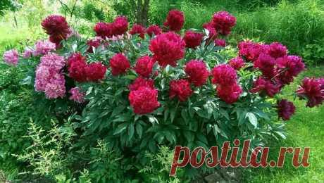 Как выращивать пионы с пышными цветами: лучшие удобрения для подкормки