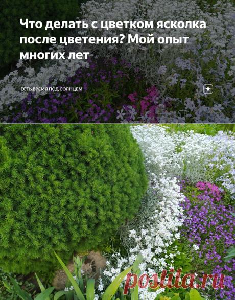 Что делать с цветком ясколка после цветения? Мой опыт многих лет | Есть время под солнцем | Яндекс Дзен