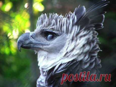 The harpy - one of the most beautiful birds.