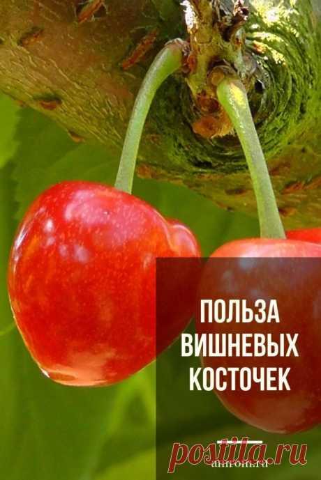 Польза вишневых косточек. Домашние средства на основе вишневых косточек отличаются противовоспалительным, мочегонным и восстанавливающим действием. В маленьком ядре есть фтор, калий, жиры и медь, пантотеновая кислота, токоферолы и фосфолипиды. Из них можно сделать масло, улучшающее обмен веществ. А еще из свежих косточек готовят соусы и компоты, морсы и различные наливки.