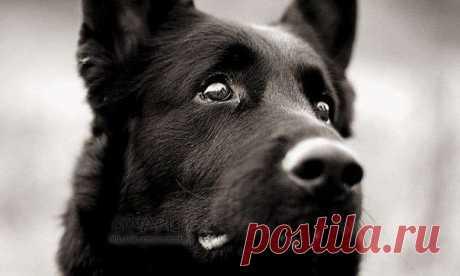 Насколько развиты мозги у собак  Социальный интеллект Собаки превосходят всех других животных по способности заботиться о людях. Даже шимпанзе всё ещё сложно убедить следовать простым человеческим жестам, таким, например, как указание пальцем, а вот собаки рождаются с сильнейшим желанием узнать как можно больше о человеческом поведении. Они очарованы человеческими лицами и не только высматривают знаки одобрения или неодобрения, но и следят за тем, куда смотрит хозяин. Пове...