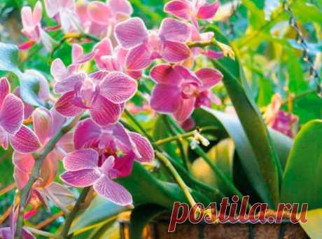 Орхидея уход в домашних условиях: особенности выращивания Уход за Орхидеей в домашних условиях. Как правильно ухаживать за цветком. На что обратить внимание при размножении. Что делать во время и после цветения. Ухаживаем за растением после покупки.