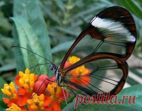 Грета Ото, или стеклянная бабочка.