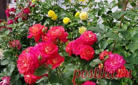 Как правильно обрезать розы после цветения. Грубейшая ошибка розоводов
