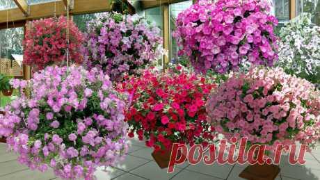 5 секретов от бывалых садоводов для красивого цветения петунии