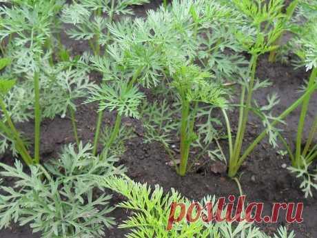 Огород, дача, советы. в Instagram: «Прореживать морковь не нужно! ⠀ Делается так: за 10-12 дней до посева семена моркови завязываем в тряпочку, посвободнее. Закапываем во…»