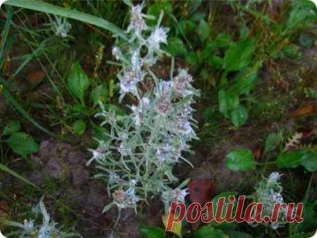 Сушеница топяная: полезные свойства и применение