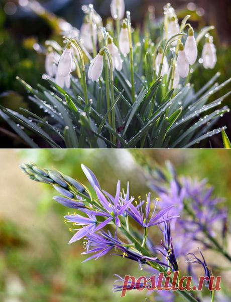 7 необычных луковичных цветов для посадки осенью. Приготовимся к яркой весне уже сейчас | Любимая Дача | Яндекс Дзен