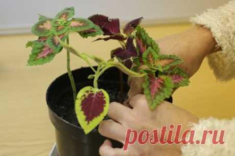 Живи «крапивка». Как вырастить колеусы из черенков. Многолетние однолетники. Какие цветы возможно сохранить дома зимой