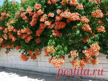 Bignonia radicans - Rasadnik Franceskija Bignonia radicans-листопадный альпинист, который взбирается с помощью воздушных корней и достигает высоты до 20 м. Цветки трубчатые, оранжевого или красного цвета и могут вырасти до 8 см. Цветет с июня по сентябрь. Он хорошо растет в солнечном, теплом и защищенном месте. Любит питательную, хорошо дренированную почву. Разработанные образцы морозостойки и выдерживают температуру до-20 ° С.