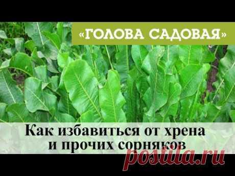 Голова садовая - Как избавиться от хрена и прочих сорняков