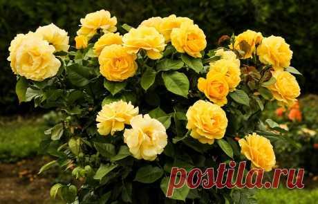 5 моих советов по уходу за розами, чтобы продлить их цветение летом | Фабрика здоровья | Яндекс Дзен