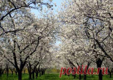Почему вишня не плодоносит – 7 самых частых причин | Вишня, черешня (Огород.ru)