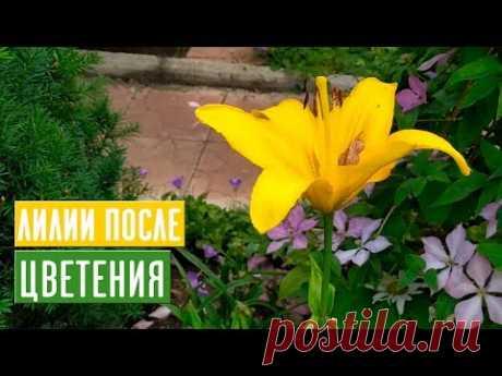 ЛИЛИИ 🌺 Правильный уход после цветения / Садовый гид