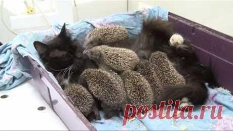La mamá Musya: la gata ha ahijado ocho de erizos-huérfanos