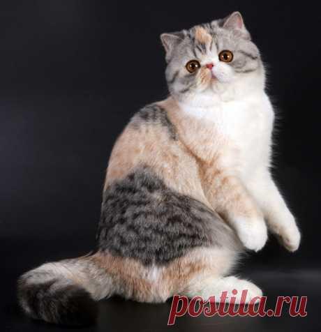 Экзотическая короткошерстная кошка - описание породы, фото, отзывы о шерсти