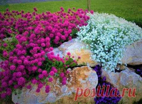 Красивое растение - замена дорогой мульчи: что стоит посадить в цветнике и в розарии, чтобы не полоть сорняки | GardenLife | Яндекс Дзен