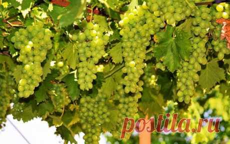 Как удобрять виноград эффективно