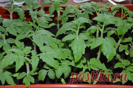 Как по листьям рассады томатов понять, каких макроэлементов не хватает рассаде и как их восполнить | Садоводство с Элен | Яндекс Дзен