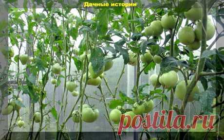 Что сделать с зелеными помидорами после уборки, чтобы они не испортились? Ускоряем созревание томатов и прочие помидорные дела   Дачные истории   Яндекс Дзен
