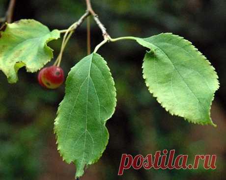 Листья яблони - полезные свойства, чай + видео В ожидании урожая яблок многие садоводы забывают и о полезных свойствах листьев яблони, теряя возможность запастись витаминным сырьем для изготовления отваров и чая из яблоневой листвы.