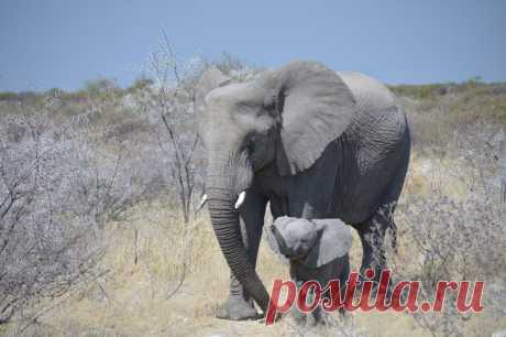 Слон и сын