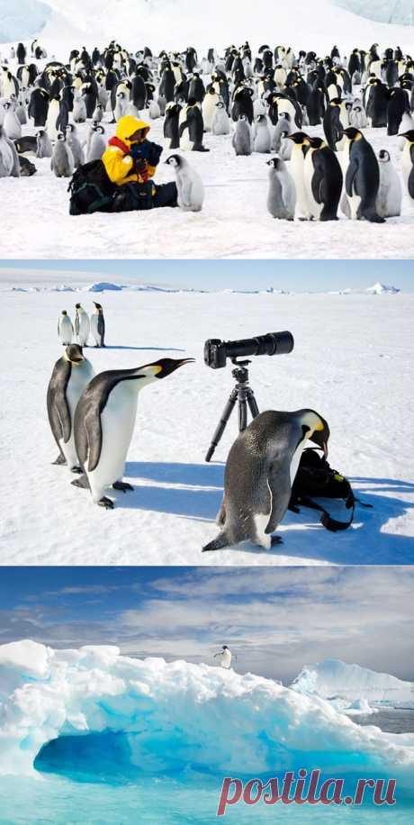 Забавные пингвины Антарктики | Fresher - Лучшее из Рунета за день