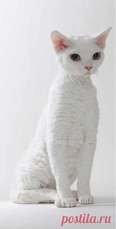 #white devon rex #cat   Just White ☆