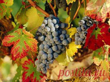 Как подготовить виноград к зиме Какие меры нужно принять, чтобы сохранить виноградную лозу на зиму
