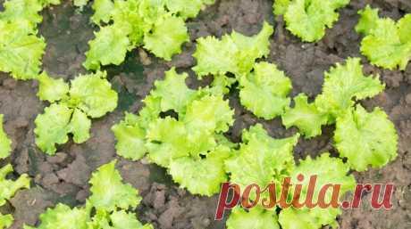 Как сеять салат - 3 проверенных способа для разных ситуаций   Семена салата можно высевать с начала весны до начала осени. Узнайте, как правильно это сделать, чтобы собрать хороший урожай даже с самой маленькой грядки. Семена салата можно высевать как отдельно…