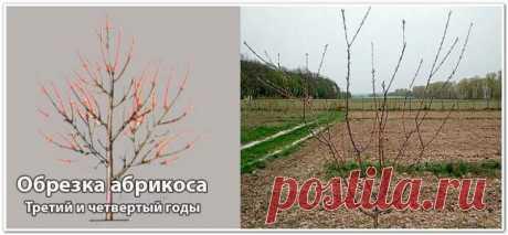 Тонкости и правила обрезки абрикосовых деревьев   Азбука огородника   Яндекс Дзен