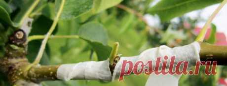 Прививка плодовых деревьев (+ окулировка): обзор лучших способов