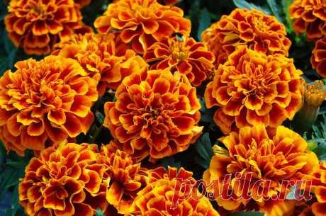 Бархатцы — 7 лечебных свойств и противопоказания, применение цветов для здоровья человека Мы опишем лечебные свойства цветов бархатцев, а также их противопоказания и вред для здоровья. Расскажем о приготовлении и применении чая, отвара, настойки и масла на основе растения.