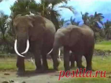 Удивительная история самопожертвования слона ради слоненка.