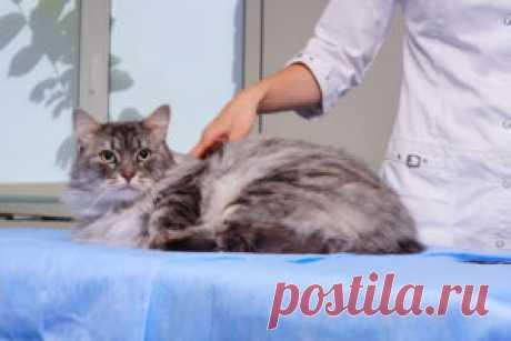 Кастрация кота описание процедуры