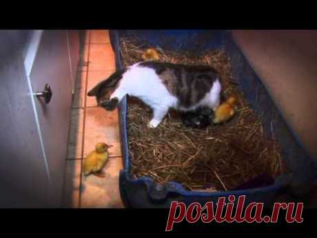 (131) AMAZING Cat Feeding Ducklings DAY 6 - YouTube