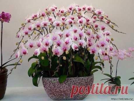Отличная подкормка для шикарного цветения орхидей